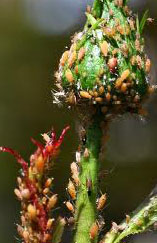 aphids3
