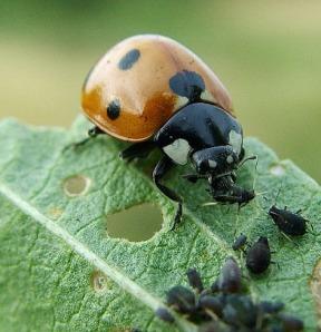 lady bug master