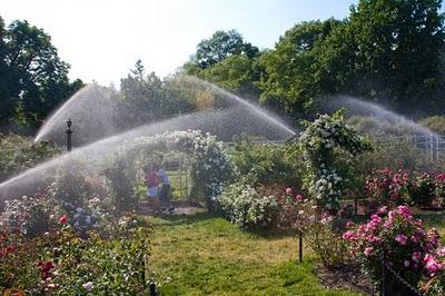 Hệ thống tưới tự động cho vườn hồng. Nguồn ảnh: https://rosemaniablog.wordpress.com/tag/watering-roses/